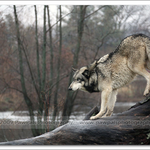 wolves-pawpals-photography-8985