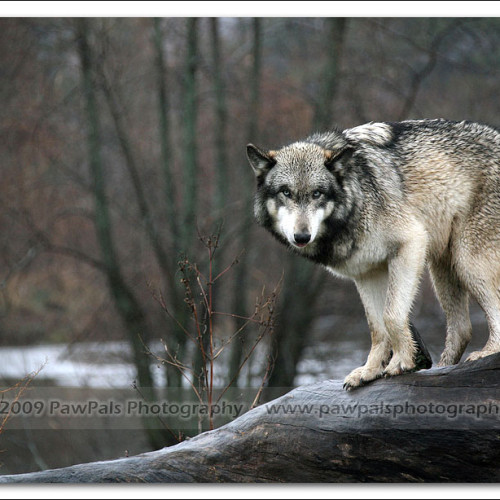 wolves-pawpals-photography-8986