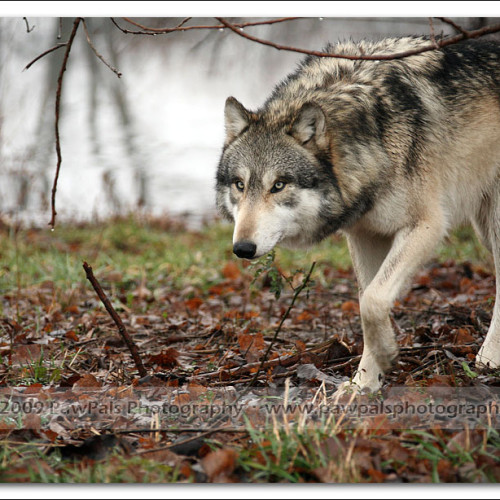 wolves-pawpals-photography-9312