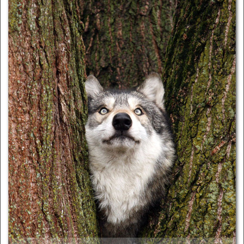 wolves-pawpals-photography-9330