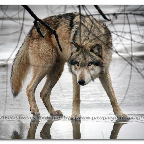 wolves-pawpals-photography-9581