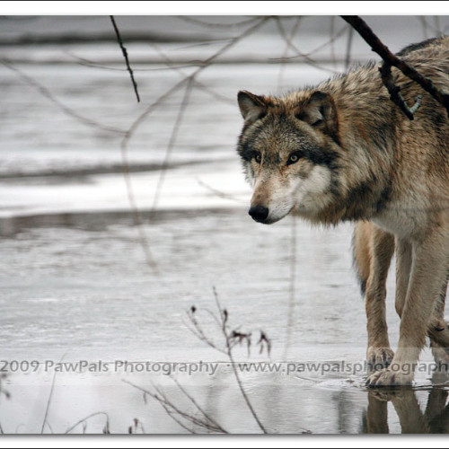 wolves-pawpals-photography-9582