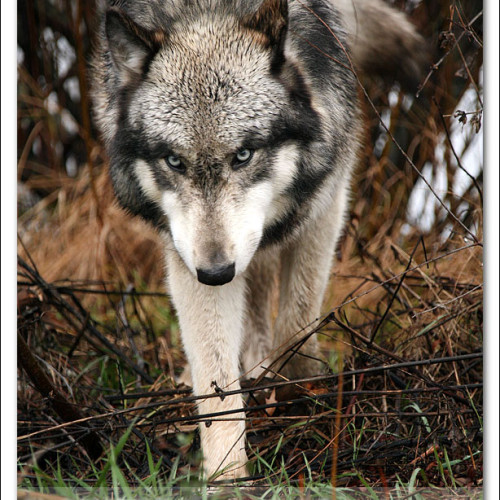 wolves-pawpals-photography-9600