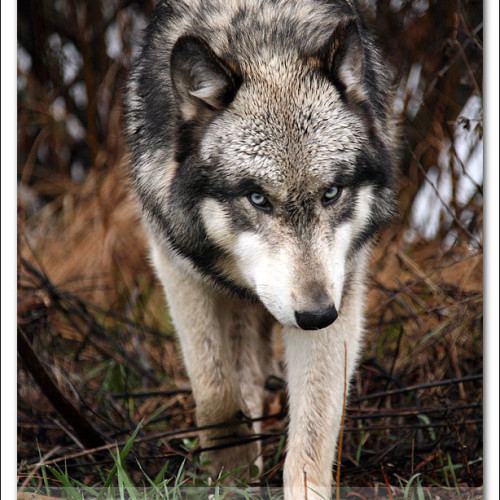 wolves-pawpals-photography-9601