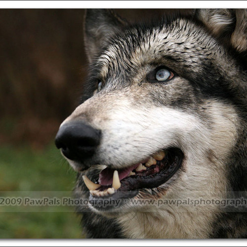 wolves-pawpals-photography-9622