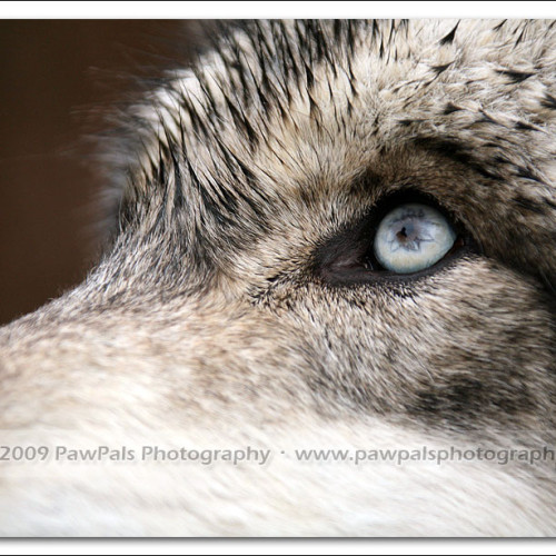 wolves-pawpals-photography-9624