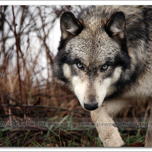 wolves-pawpals-photography-9628