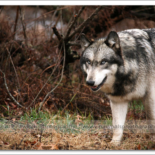 wolves-pawpals-photography-9695