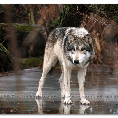 wolves-pawpals-photography-9777