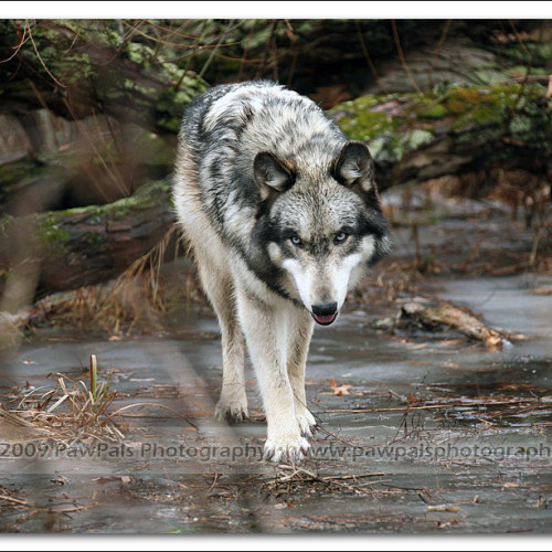 wolves-pawpals-photography-9791
