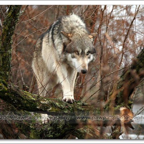 wolves-pawpals-photography-9805