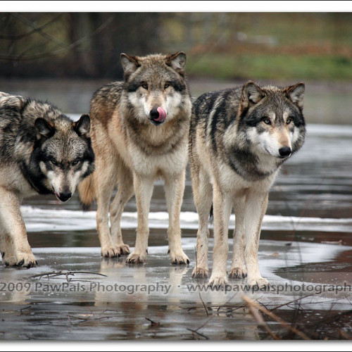 wolves-pawpals-photography-9853