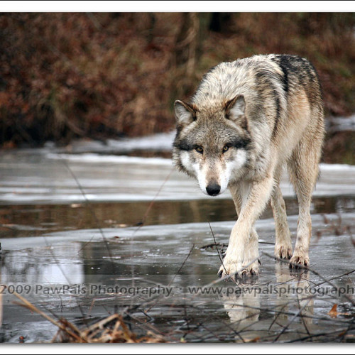 wolves-pawpals-photography-9912