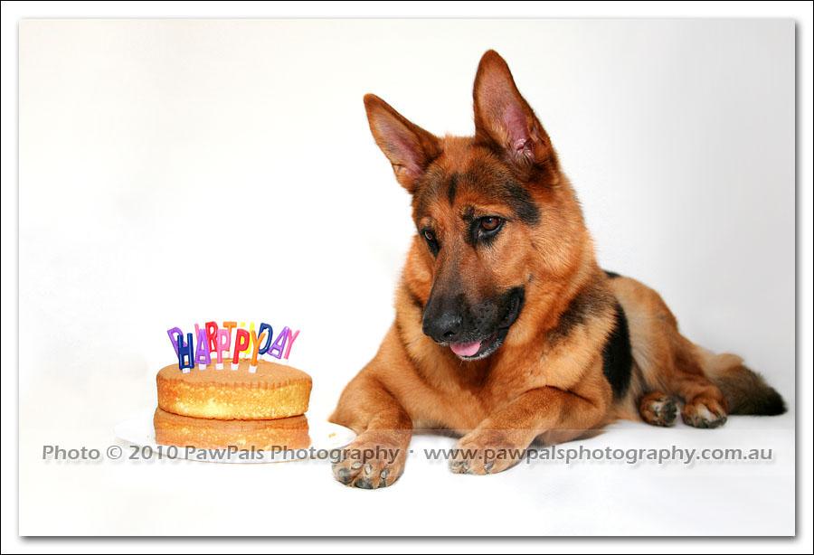 My German Shepherd Is 4 Years Old Sydney Dog